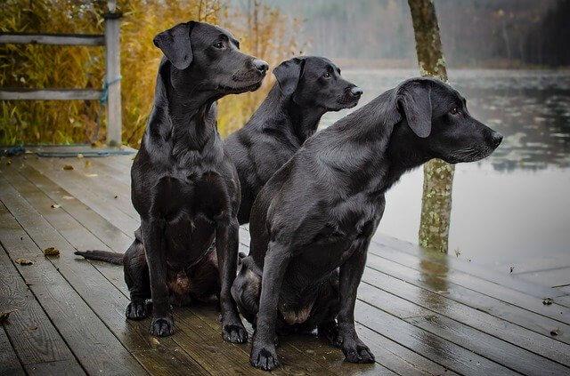 gesunde Hunderassen