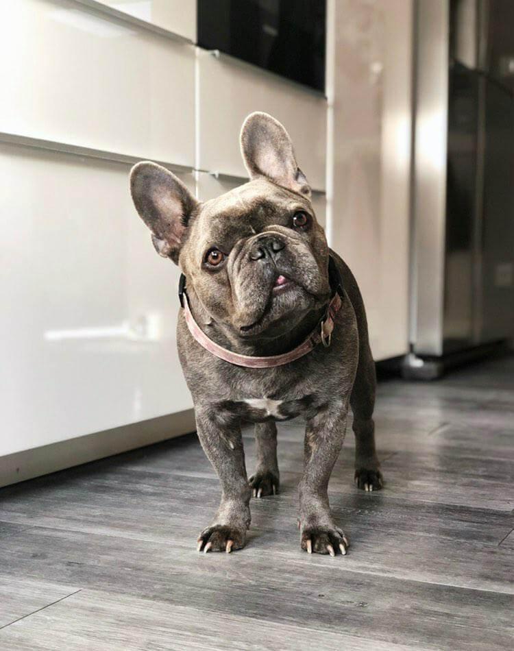 Französische Bulldogge Temperament