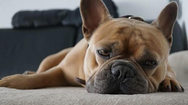 Französische Bulldogge Krankheiten