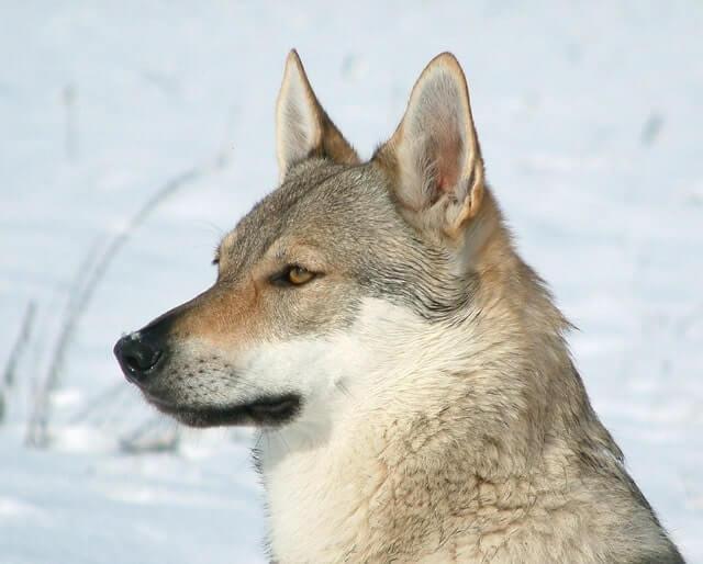 wolfsähnliche Hunderasse