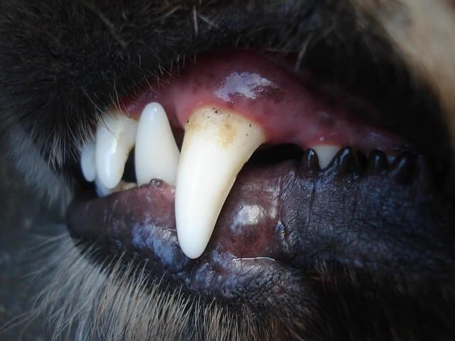 Zahnfleischentzündung Hund
